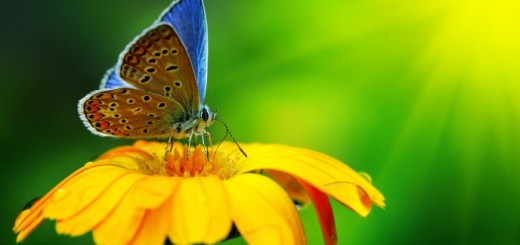 6256_Blue-butterfly-on-a-yellow-flower-Macro-HD-wallpaper